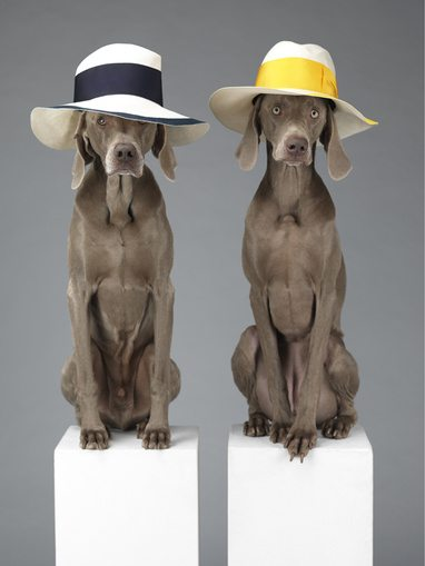 William Wegman Acne Weinamarer Dogs Great Fashion Photographers  William Wegman shoots Weimaraner Dogs for Acne